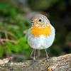Rudzik (European Robin)