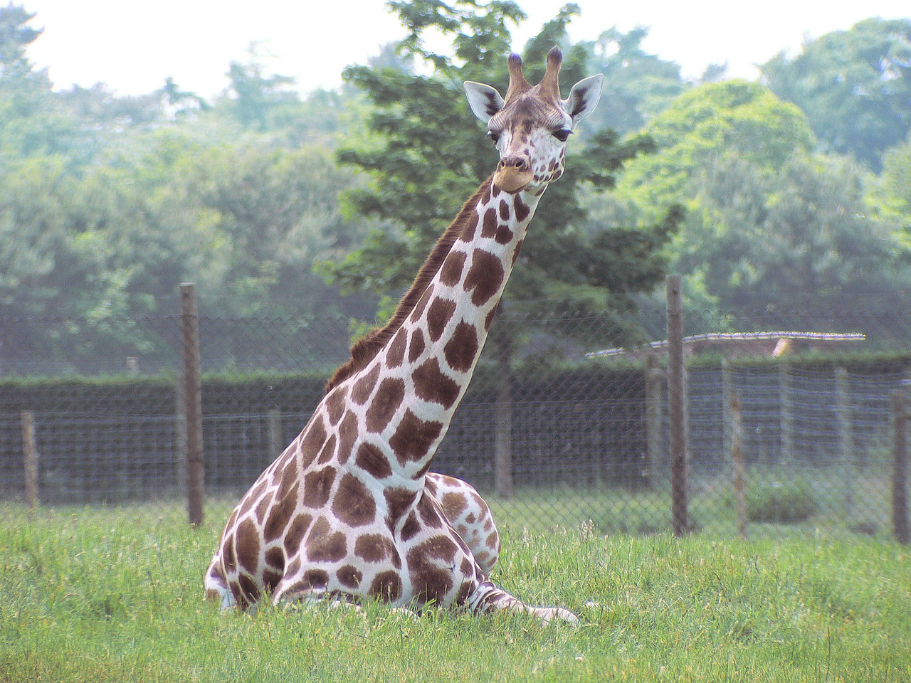 Giraffe at Whipsnade