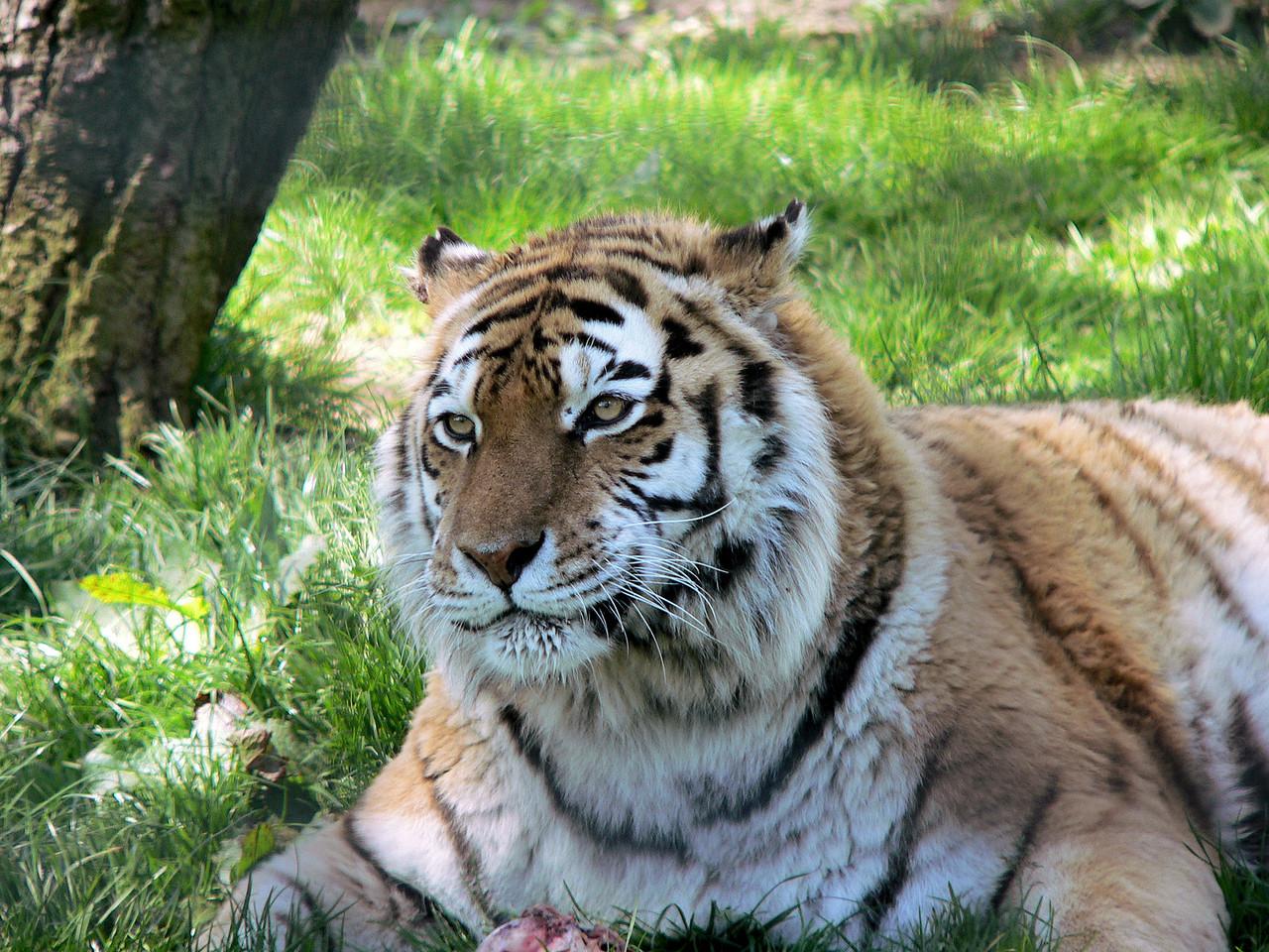 A tiger at Whipsnade