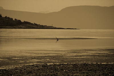 Blue heron fishing at low tide, early morning (B+W)