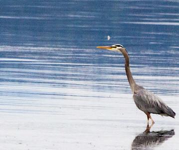 Wading Blue heron