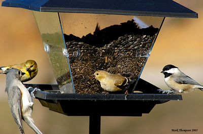 Tufted Titmouce, American Goldfinch & Chickadee