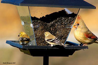 American Goldfinch & Cardinal