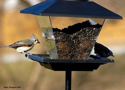 Tufted Titmouce & White-Breasted Nuthatch