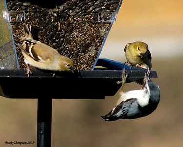 American Goldfinch & White-Breasted Nuthatch