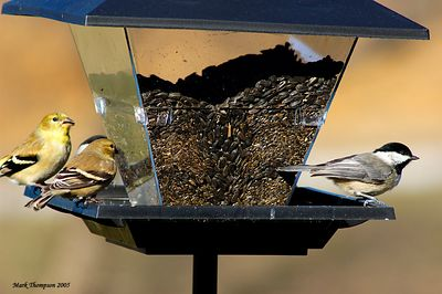 American Goldfinch & Chickadee