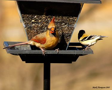 Cardinal & American GoldFinch