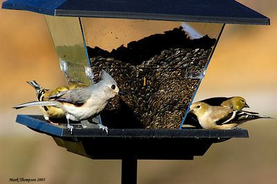 Tufted Titmouce & American Goldfinch