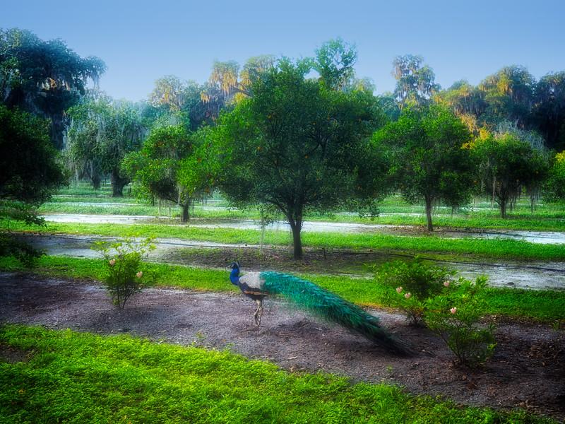 """WPP2033  """"Peacock in the Garden"""""""