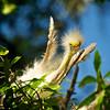 WPP2239  Egret baby