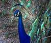 """WPP1177  """"Peacock Eyes"""""""