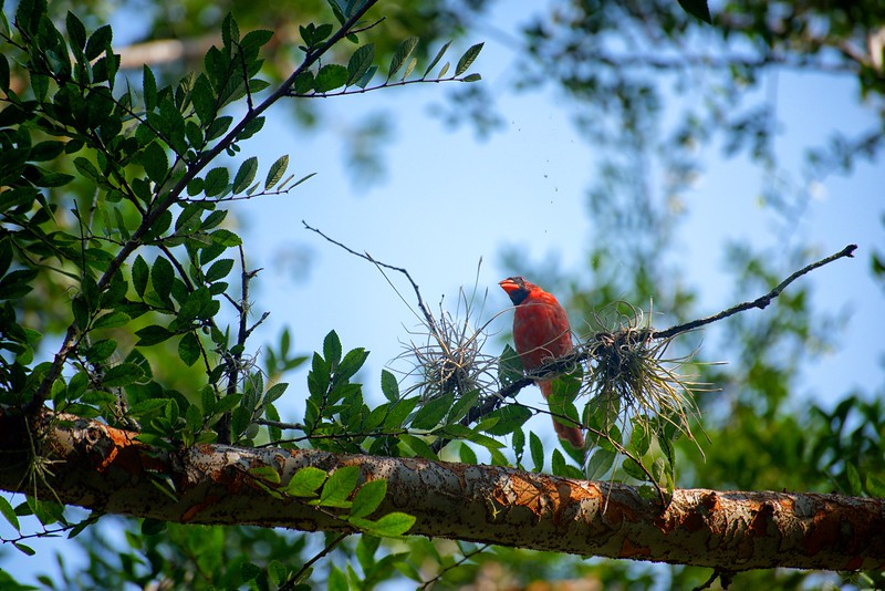 "WPP1266  ""The Wary Cardinal"""