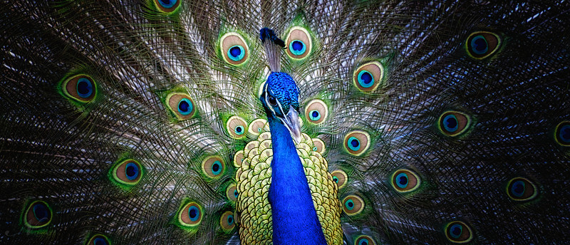 Strutting Peacock in pano 2 (0171)