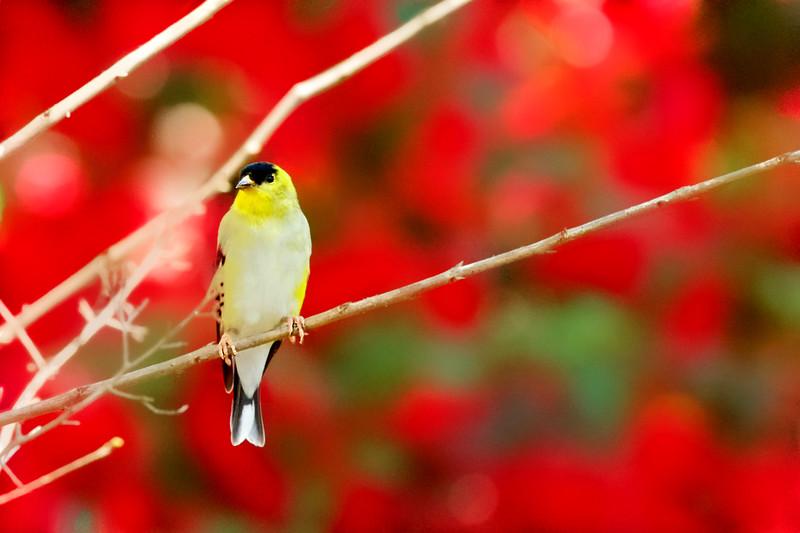 WPP2444 Goldfinch