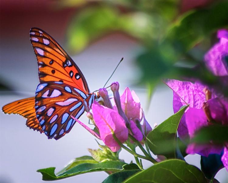 WPP2309   Butterfly on Purple Bourganvilla