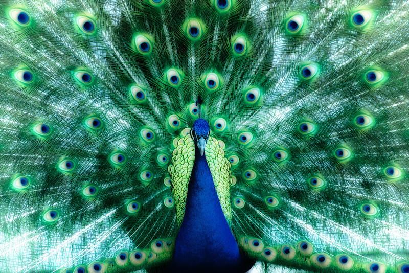 "WPP1190  ""Peacock in Green"""