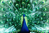 "WPP1190  ""Peacock in Green"""