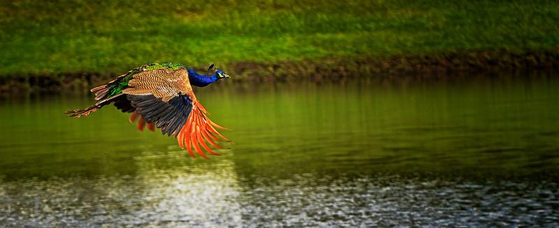 "WPP1206  ""Peacock in Flight"""
