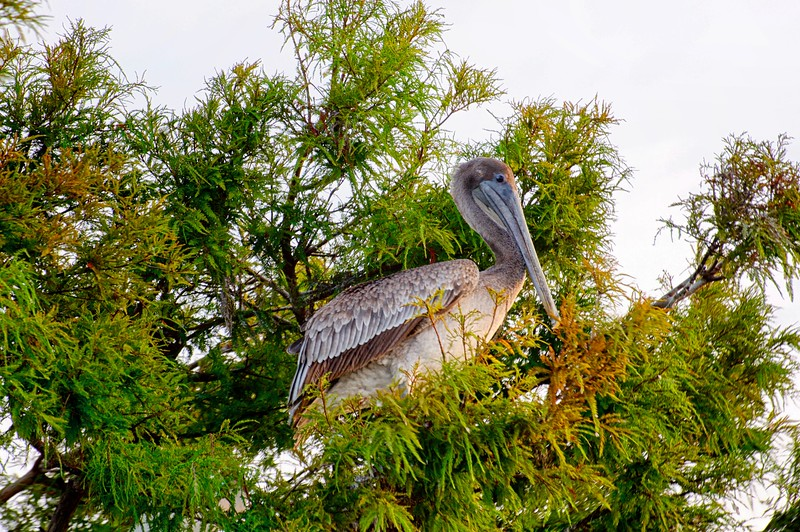 "WPP1557  ""Pelican Perch"""