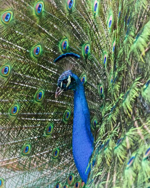 WPP6019 Peacock in Bloom