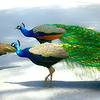 "WPP1158  ""Strolling Peacocks"""