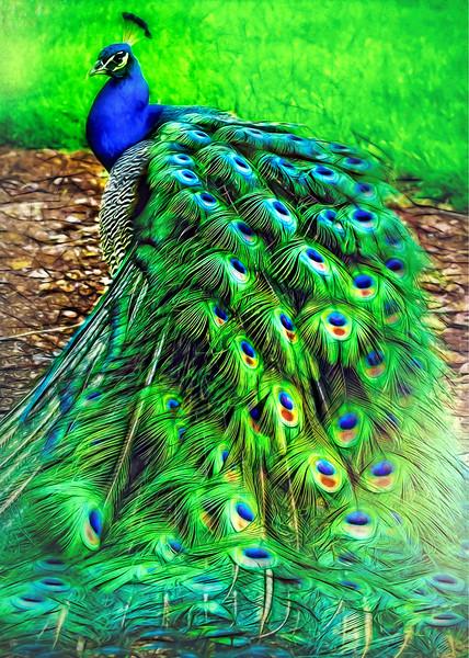 "ETC-3463-WPP1692 ""Peacock in Winter Park""_Med  file_5481"