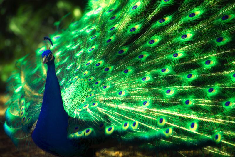 "WPP1191  ""Iridescent Peacock"""