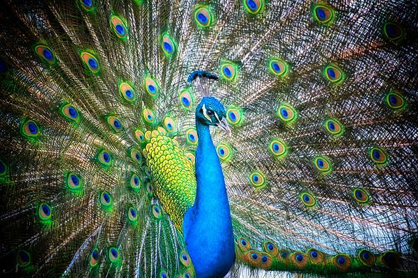 "WPP1159  ""Strutting Peacock"""