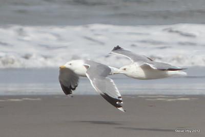 Birds on LongBeach 0829-2012