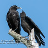 American Crow Feeding Young
