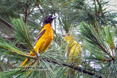 Baltimore Orioles - Male and Female