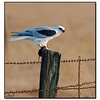 White-Tailed Kite with Mouse