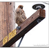 Coopers Hawk?