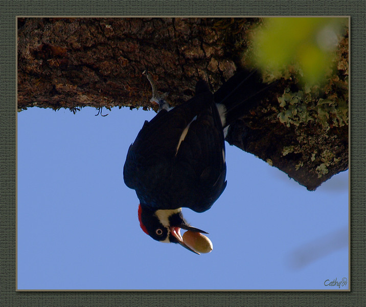 This was the real picture. He was upside down. Acorn Woodpecker