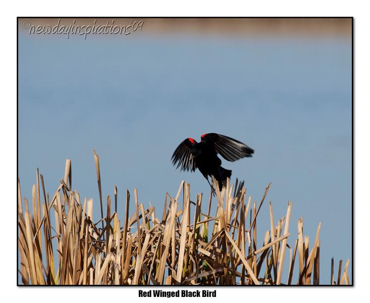 Rew-Winged Black Bird