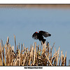 Rew-Winged Black Bird