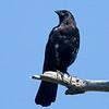 American Crow - 3