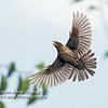 Female Red-Winged Blackbird in Flight