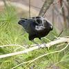 American Crow - 2