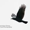 American Crow in Flight - 3