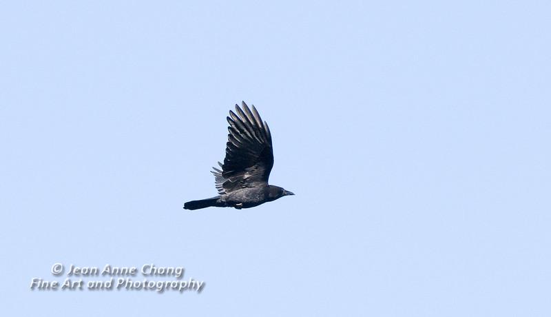 American Crow in Flight - 2