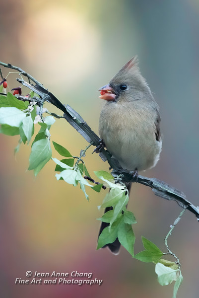 Tufted Titmouse on Branch with Berry
