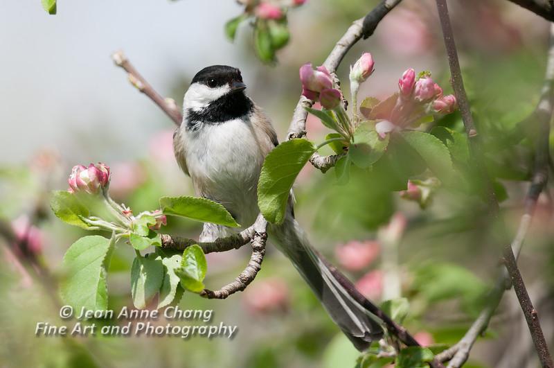 Black-Capped Chickadee on Apple Tree Branch