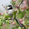 Black-Capped Chickadee on Apple Tree Branch
