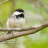 Black-Capped Chickadee Singing on Branch