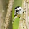 Black Capped Chickadee on Branch