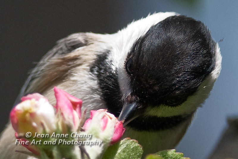 Black-Capped Chickadee in Apple Blossoms - Close Up