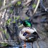 Mallard Duck (Male) from Rear