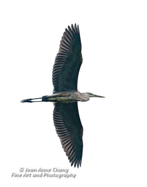 Great Blue Heron in Flight - 2