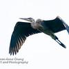 Juvenile Great Blue Heron in Flight - 3